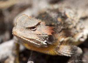 Horned Lizard | Photo by Mike Buchheit