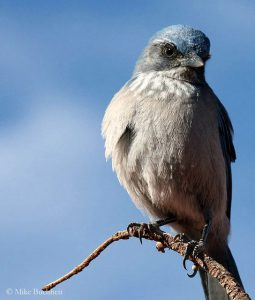 Pinyon Jay | Photo by Mike Buchheit