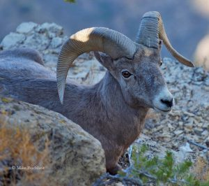 Bighorn Sheep | Photo by Mike Buchheit