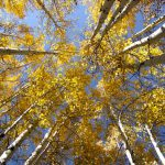 Quaking aspens against the blue autumn sky