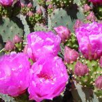 Beavertail Prickly Pear
