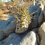 A Boojum tree grows up through the granite boulders
