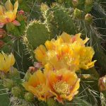 Desert Prickly Pear | Courtesy of NPS