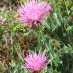 Arizona Thistle