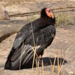 Condor News Updates (AZ) April 26, 2013