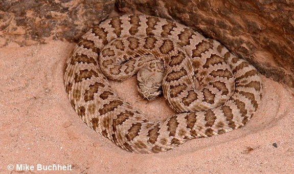 Grand Canyon's own Pink Rattlesnake | Photo by Mike Buchheit