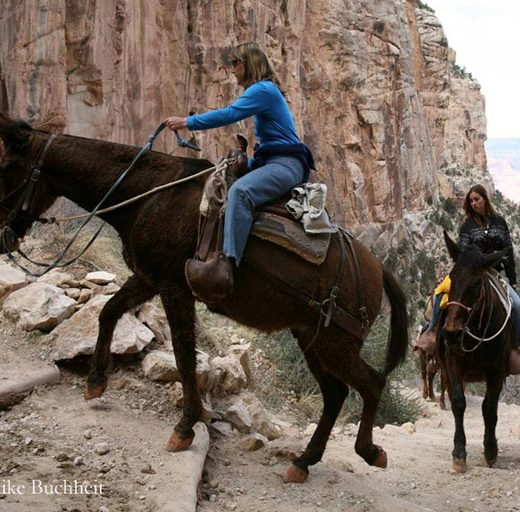 Mules with riders heading up the trail | Photo by Mike Buchheit