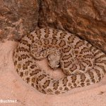 Grand Canyon Rattlesnake | Photo by Mike Buchheit