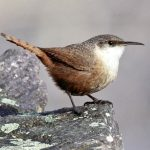 Canyon Wren | Photo by Audubon