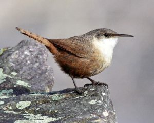 Canyon Wren by Audubon