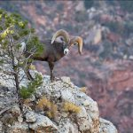 Bighorn Ram | Photo by Mike Buchheit