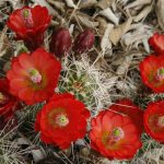 Claret Cup Hedgehog Cactus | Photo by Larry Lindahl