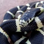 Common King Snake | Photo courtesy of Petrified Forest National Park by Andy Bridges