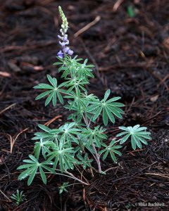 Lupine | Photo by Mike Buchheit