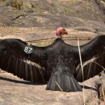 Condor #87 gets wet in Pipe Creek along the Tonto Trail in Grand Canyon National Park. | NPS Photo by Mike Quinn