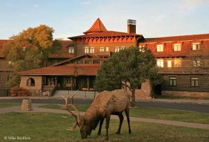 Bull elk grazing on El Tovar Hotel lawn | Photo by Mike Buchheit