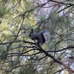 A squirrel sits in a Ponderosa Pine tree nibbling on bark near Campbell Mesa in Flagstaff. Taken on 12-5-09 by Brady Smith. Credit: USDA Forest Service, Coconino National Forest.