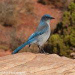 Scrub Jay | Photo by Mike Buchheit