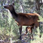 Understanding the Park's Most High-Profile Ungulates