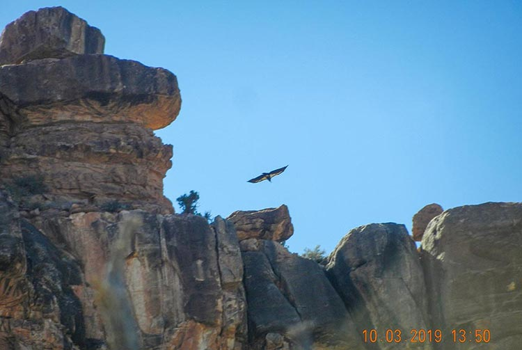 The father of the chick, California condor 521, flying in the vicinity of the O'Neill Butte nest. | NPS/Bob George