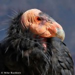 Condor Profile | Photo by Mike Buchheit